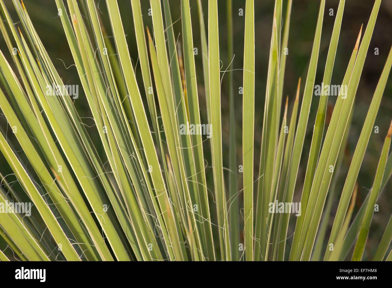 Soapweed yucca (Yucca glauca), Devil's Backbone Open Space,  Larimer County, Colorado - Stock Image