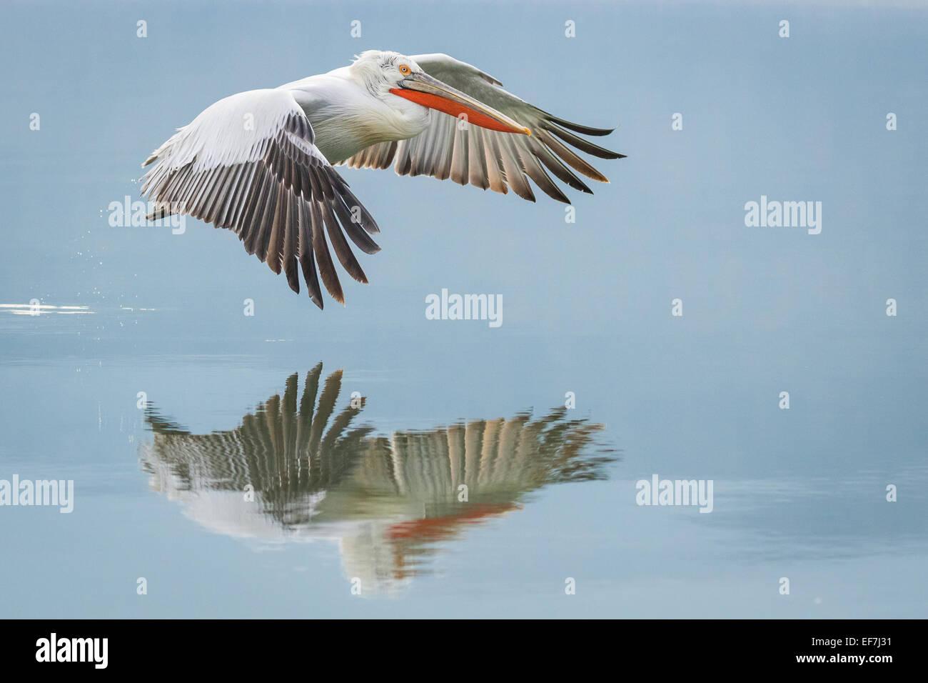 Dalmatian Pelican (Pelecanus crispus) flies across a near still Lake Kerkini in Northern Greece, its reflection - Stock Image