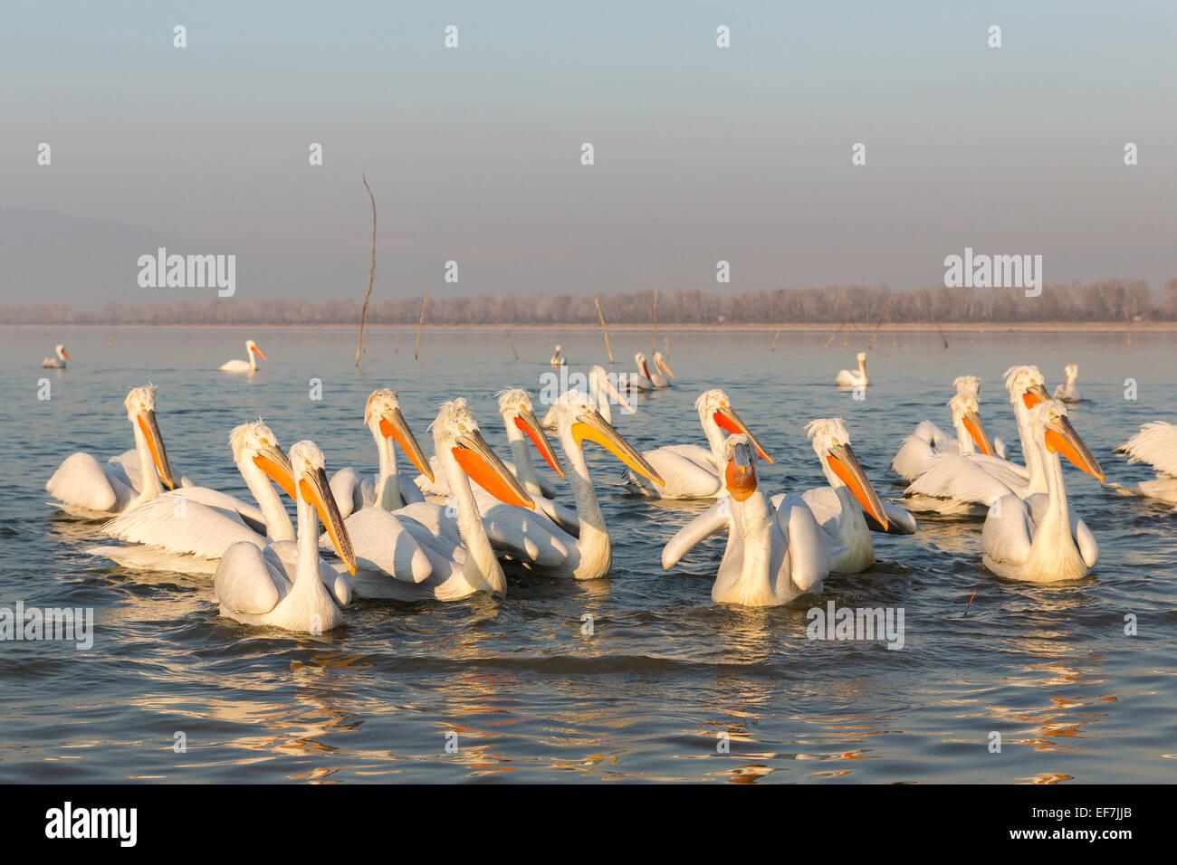 A collection of Dalmatian Pelicans (Pelecanus crispus) in golden evening sunshine on Lake Kerkini in Northern Greece - Stock Image