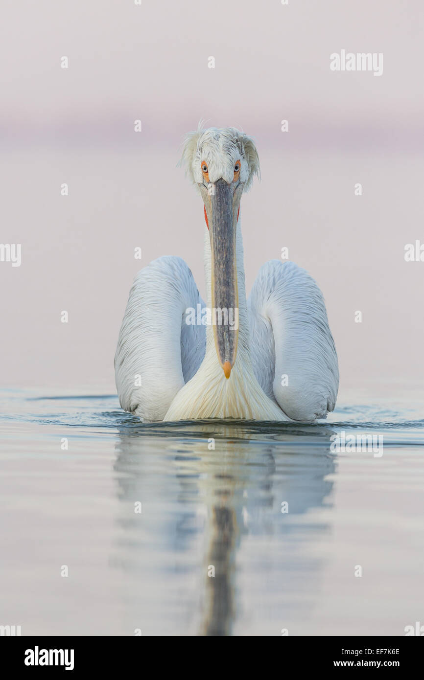 Portrait of a Dalmatian Pelican (Pelecanus crispus) swims on Lake Kerkini in Northern Greece - Stock Image