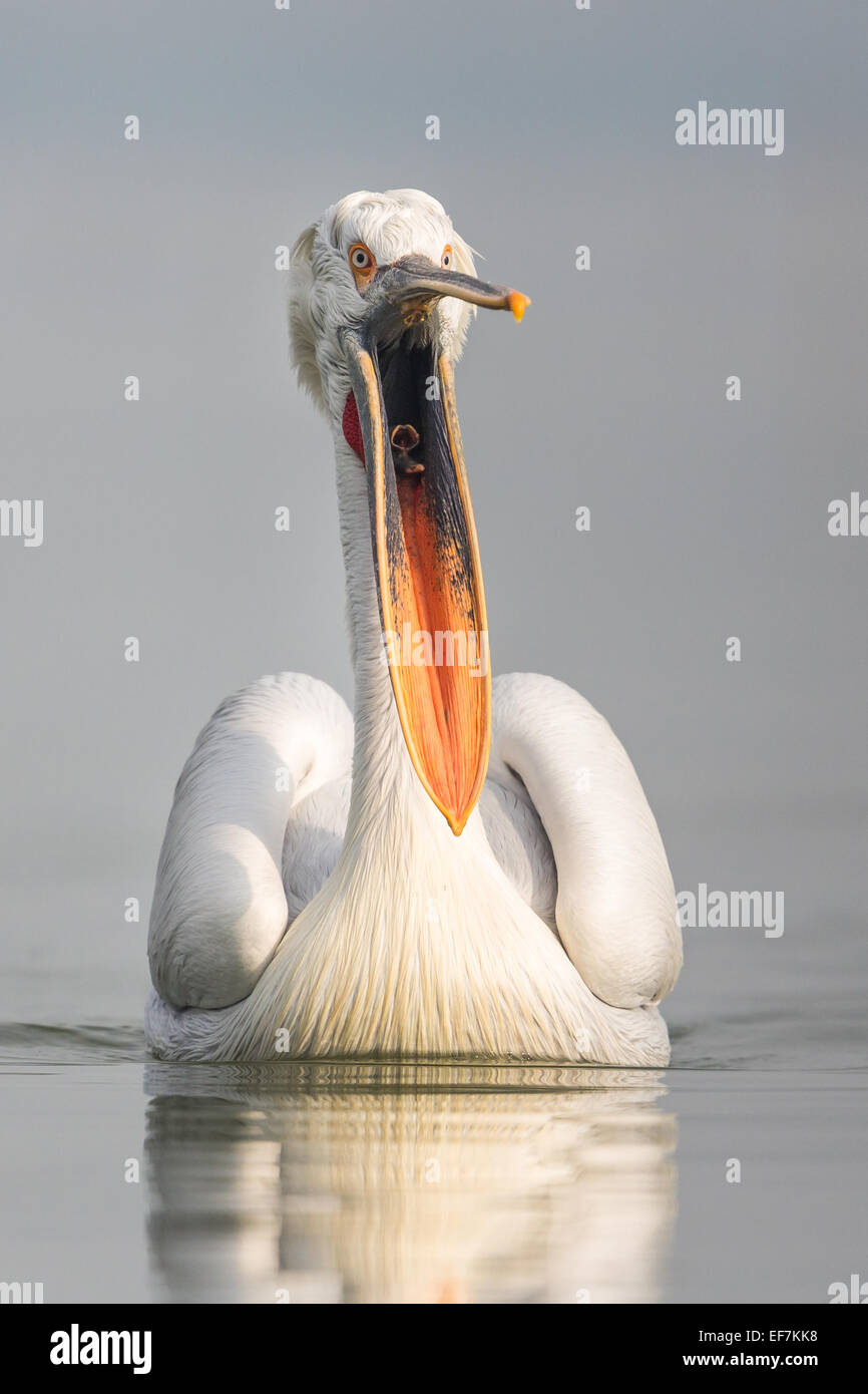 Portrait of a Dalmatian Pelican (Pelecanus crispus) gesturing with its bill open on Lake Kerkini in Northern Greece - Stock Image