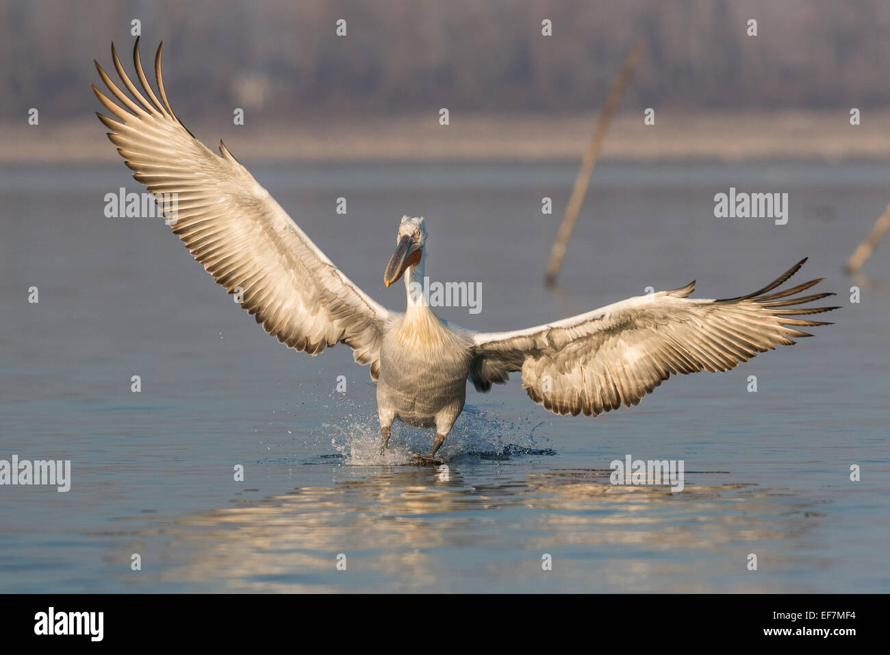 Dalmatian Pelican (Pelecanus crispus) in golden evening sunshine lands on Lake Kerkini in Northern Greece Stock Photo
