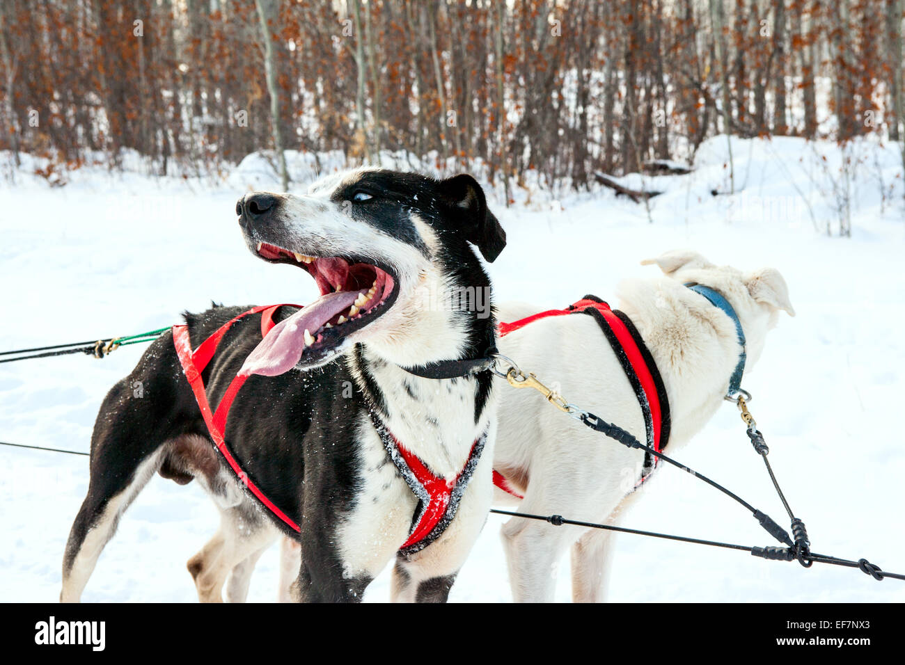 Sled dogs rest after a dogsled race - Stock Image