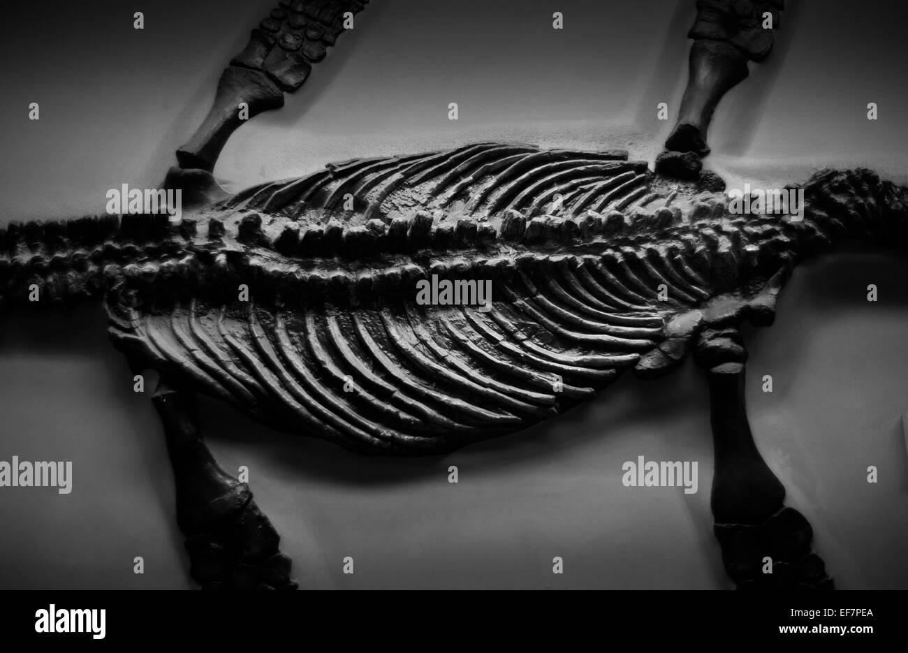 Natural History Museum, London, England,UK. January 2015 Pliosaur, Rhomaleosaurus Cramptoni - Stock Image