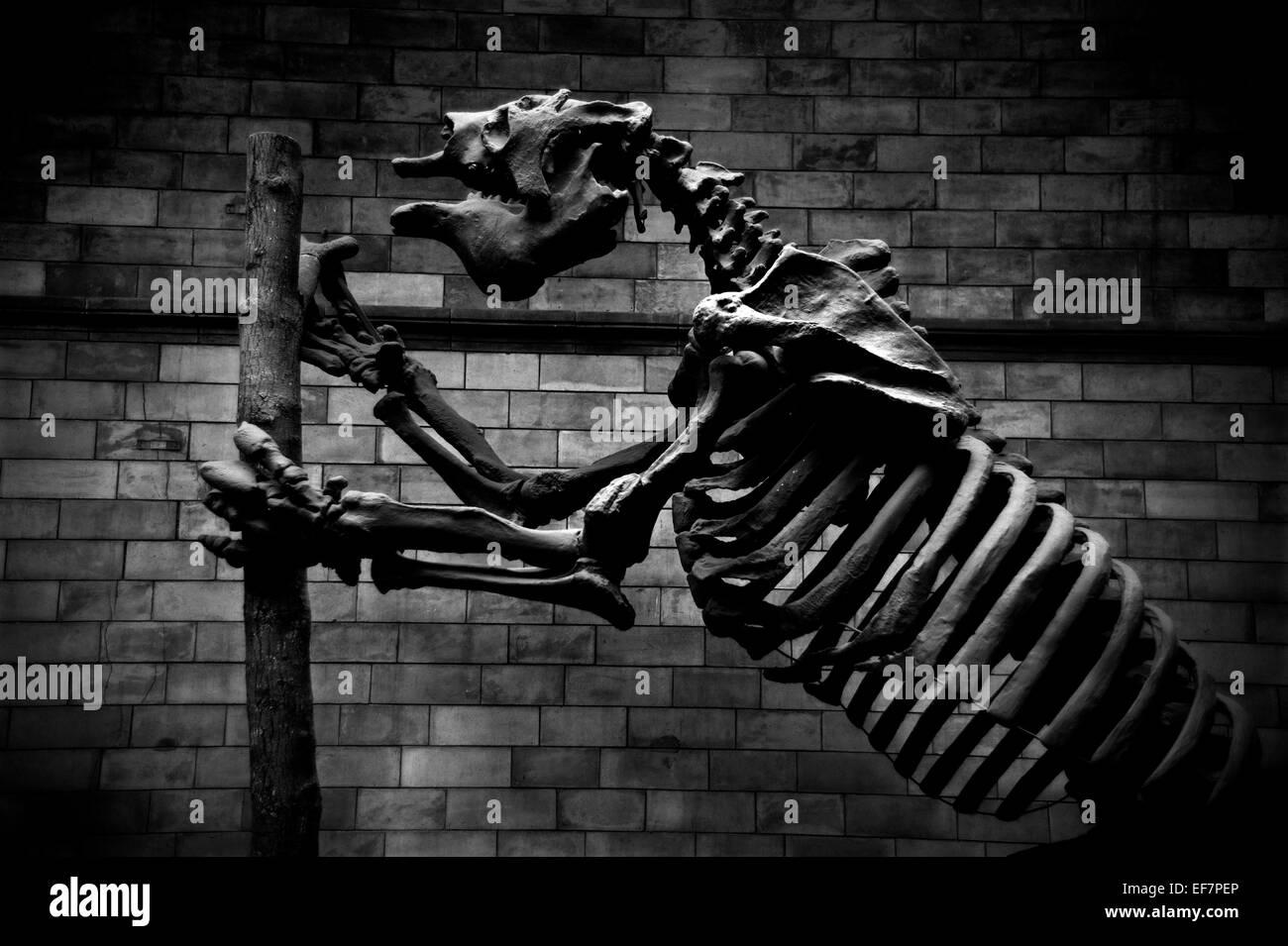 Natural History Museum, London, England,UK. January 2015 Giant Ground Sloth,Megatherium Americanum - Stock Image