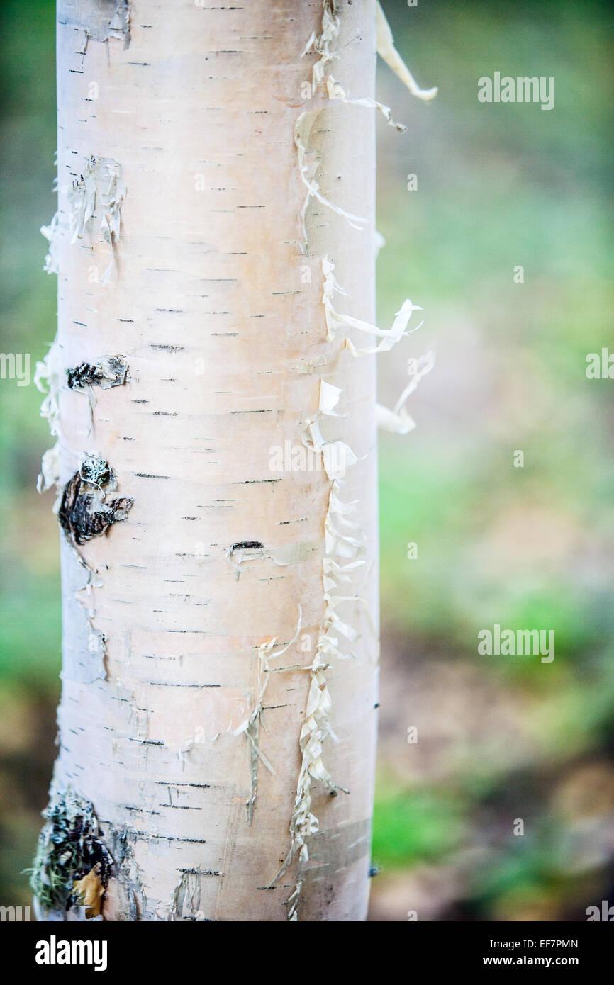 Birch tree - Stock Image