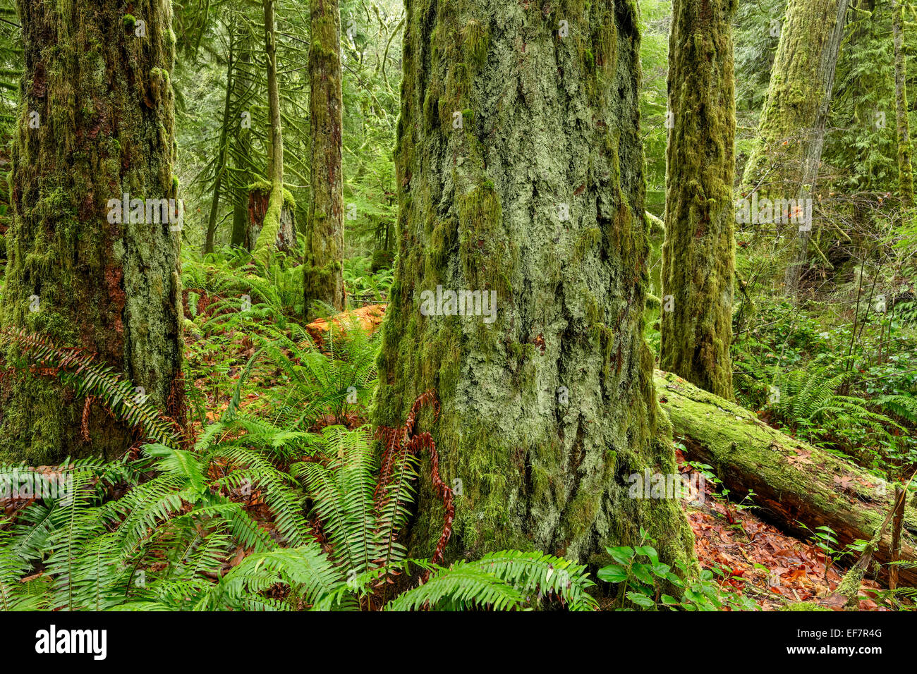 Old growth Douglas fir trees in Goldstream Provincial Park-Victoria British Columbia, Canada. - Stock Image