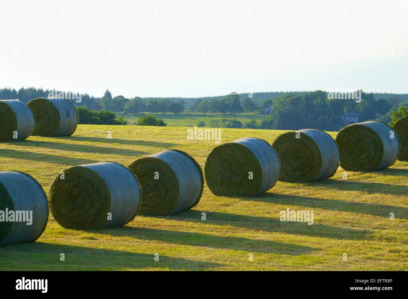 Silage bales in a field. Gilsland, Cumbria, England, UK. Stock Photo
