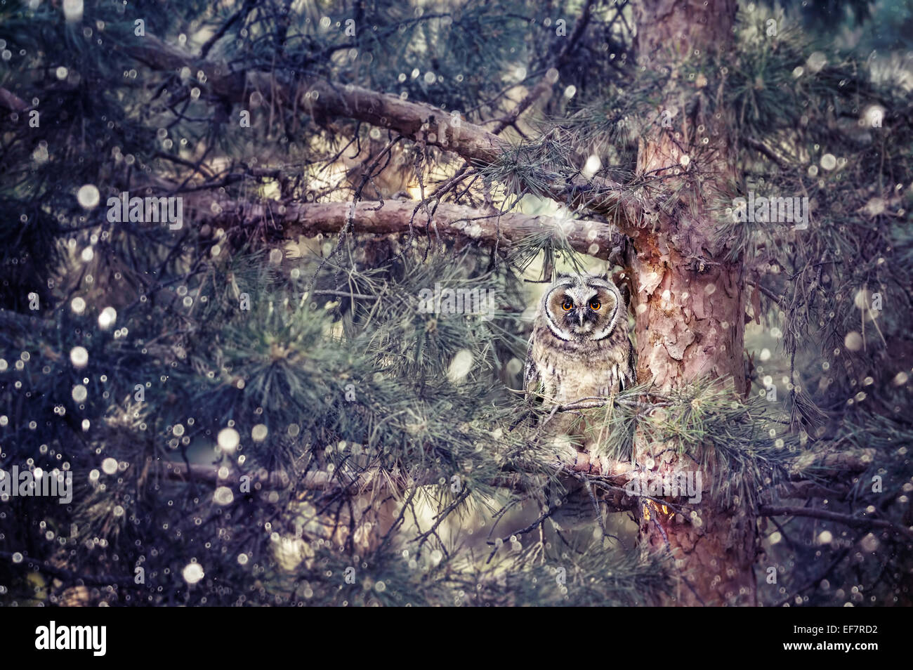Long eared owl sitting on the branch in the forest at snowfall - Stock Image