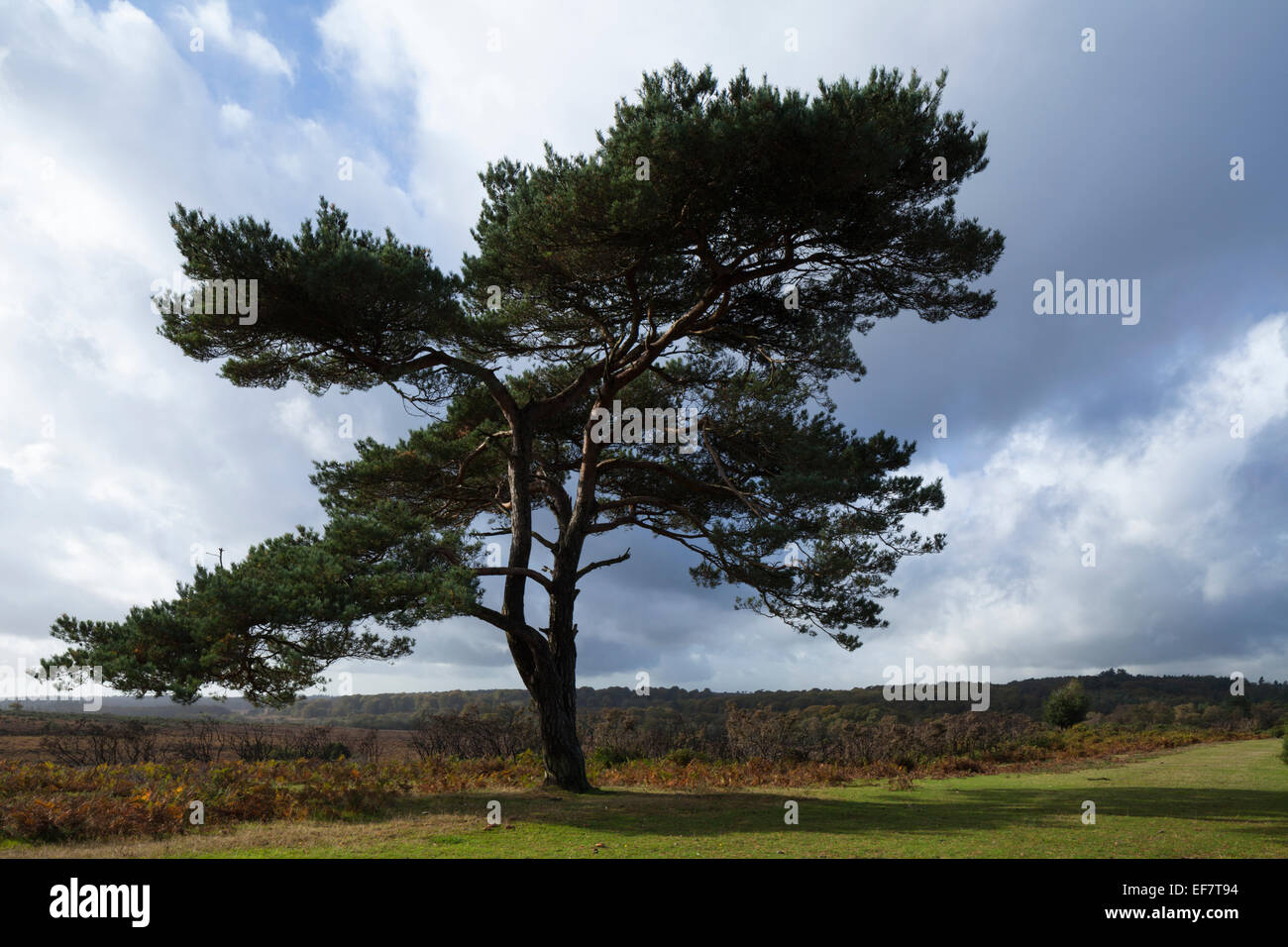 Lone pine tree and heathland views set against a stormy sky at Bratley View in the New Forest National Park, Hampshire, - Stock Image
