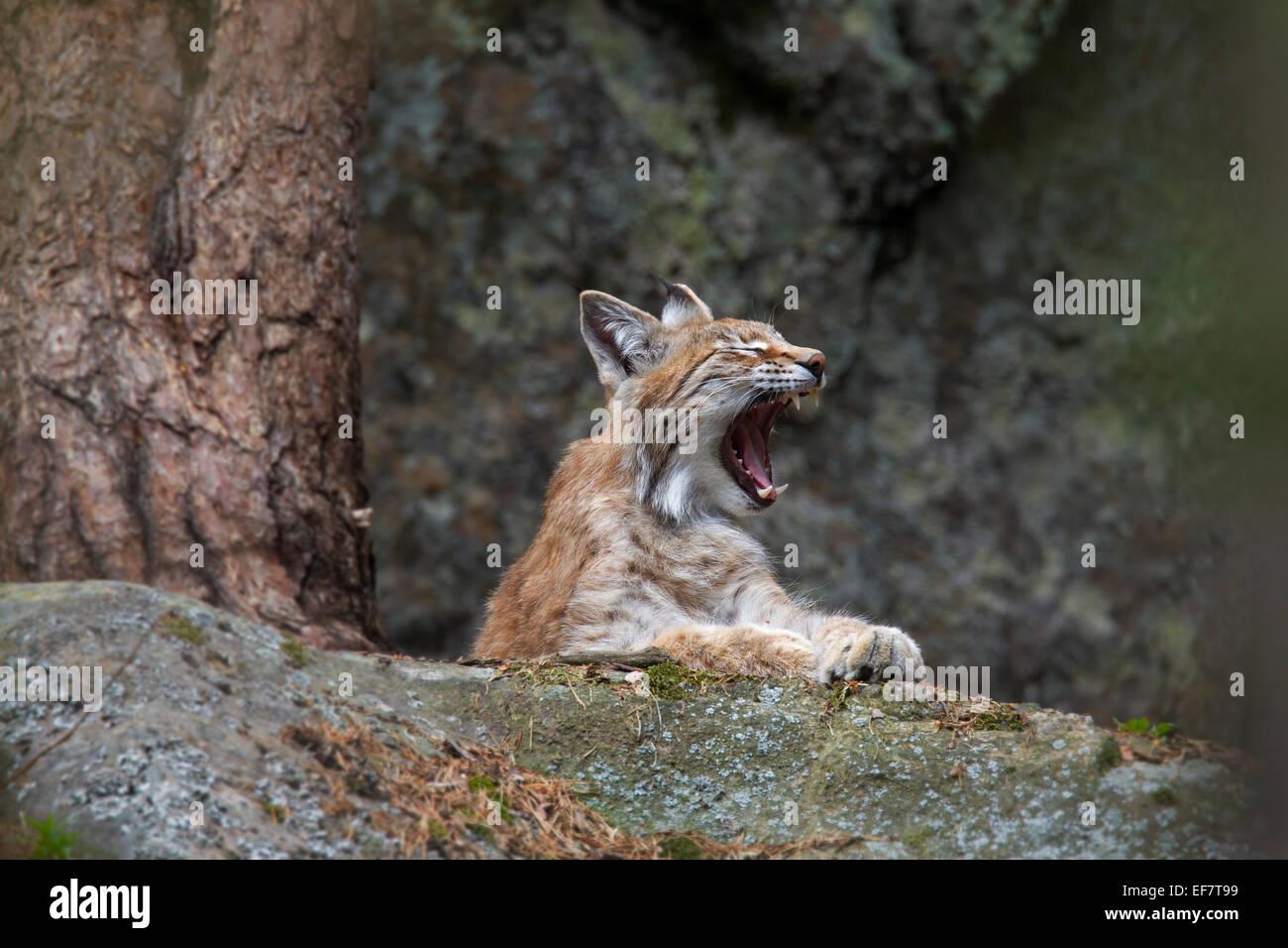 European lynx / Eurasian lynx (Lynx lynx) waking up and yawning - Stock Image