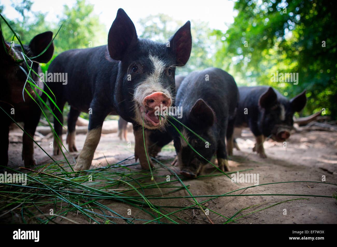 Portrait of free range berkshire piglet eating grass Stock Photo