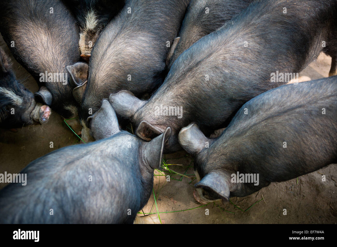 Free range berkshire pigs foraging, overhead view Stock Photo