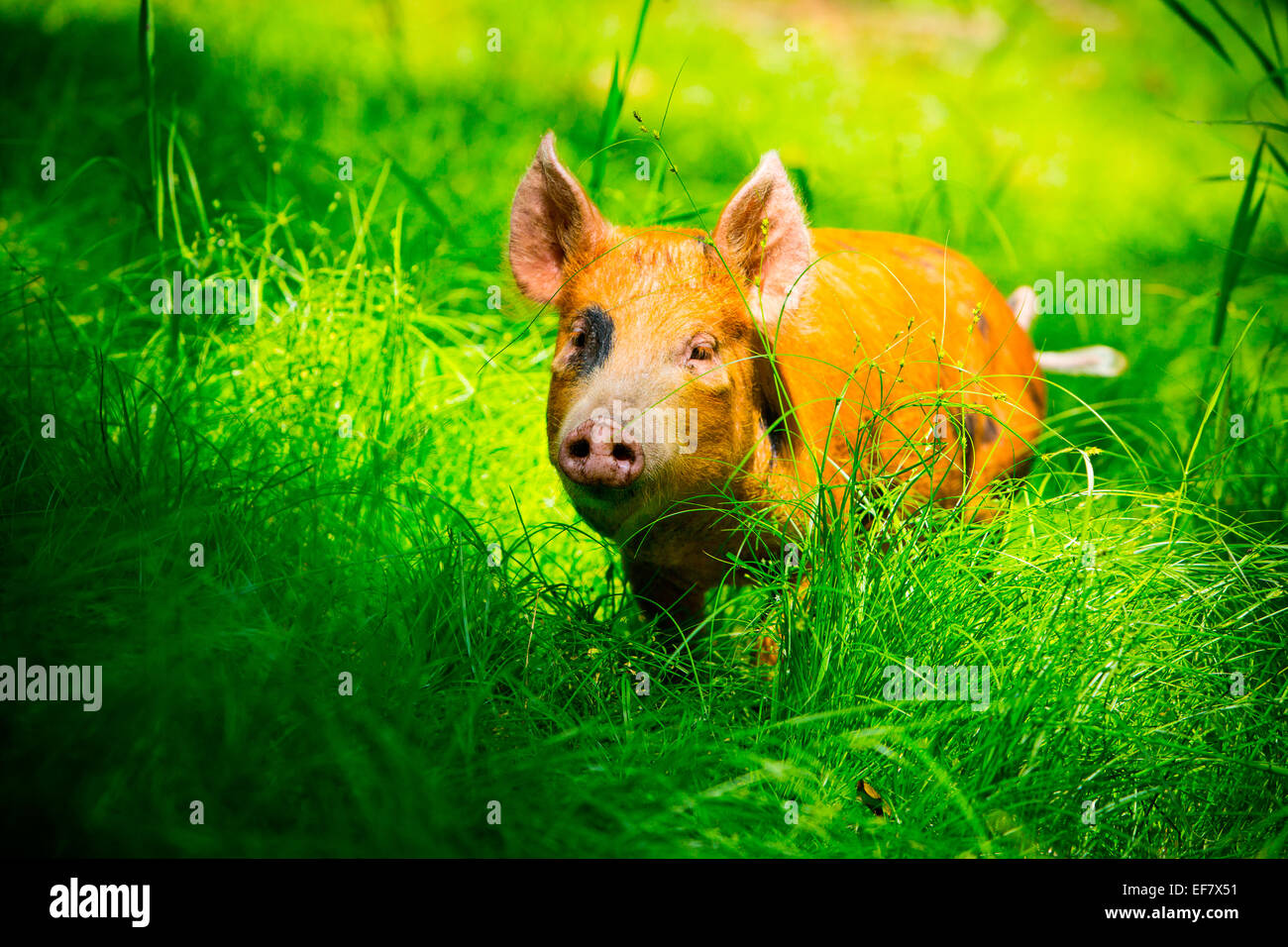 Free range juvenile tamworth pig roaming in sunlit grass Stock Photo