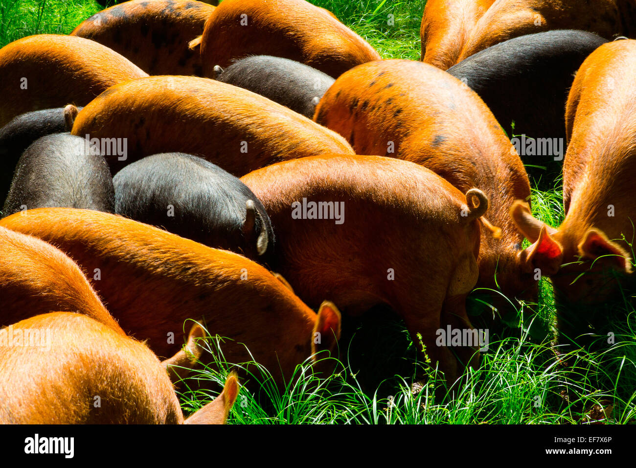 Free range tamworth and berkshire pigs foraging in sunlight - Stock Image
