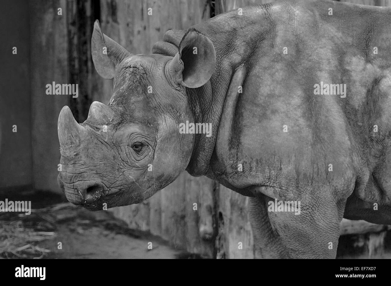 Rhinoceros Side View - Stock Image