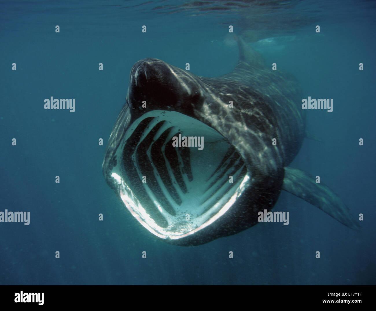 Basking Shark feeding on plankton in Sennen Cove, Cornwall - Stock Image
