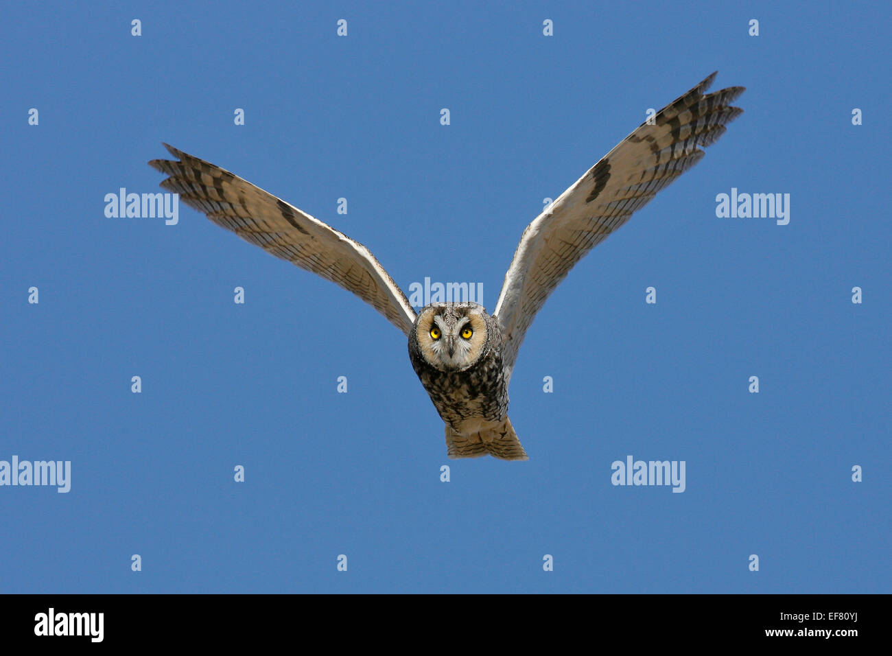 Long-eared Owl - Asio otus - Stock Image