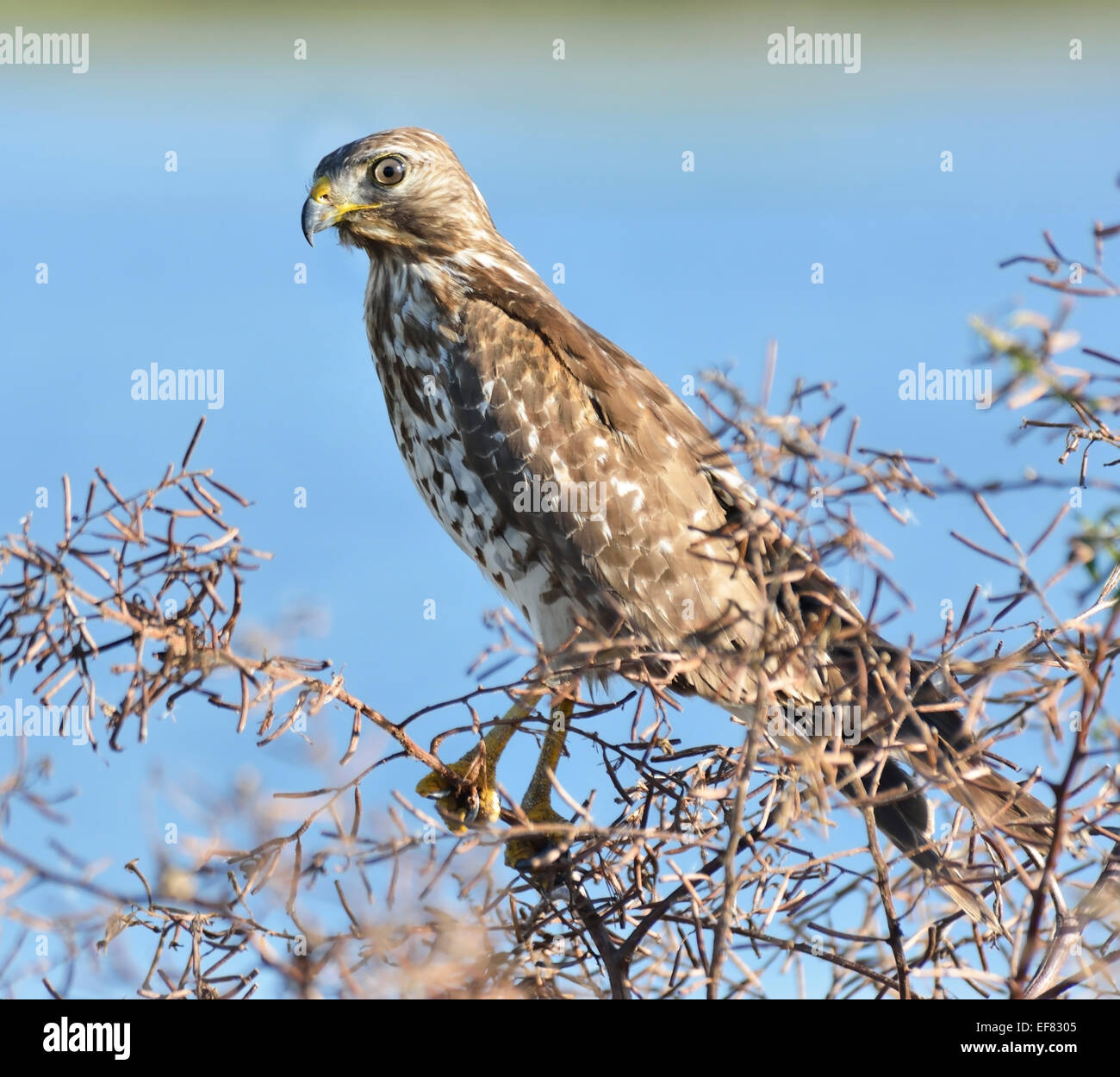 Sparrowhawk Perching On A Bush Branch - Stock Image