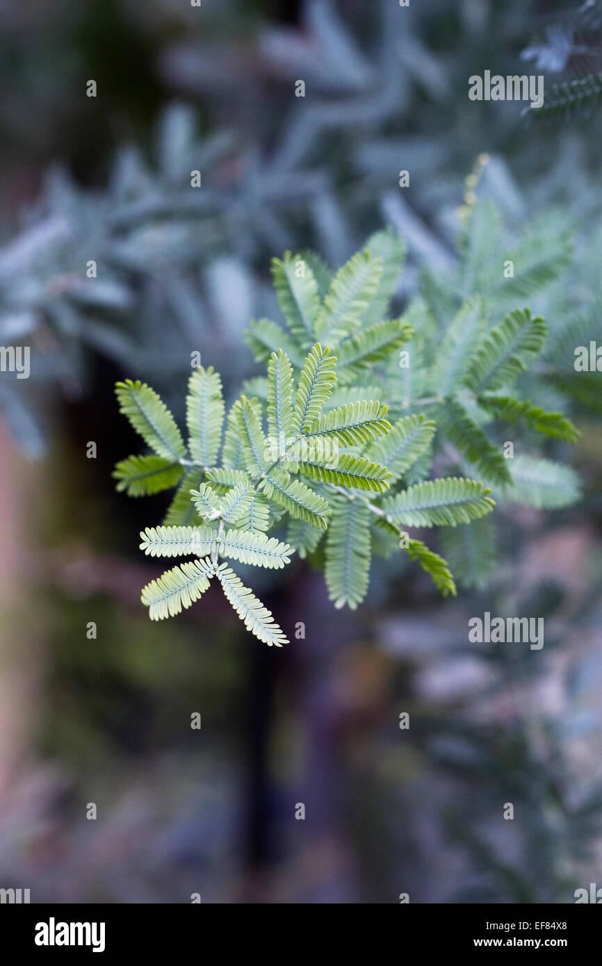 Acacia baileyana. Cootamundra wattle shrub growing in a protected environment. - Stock Image