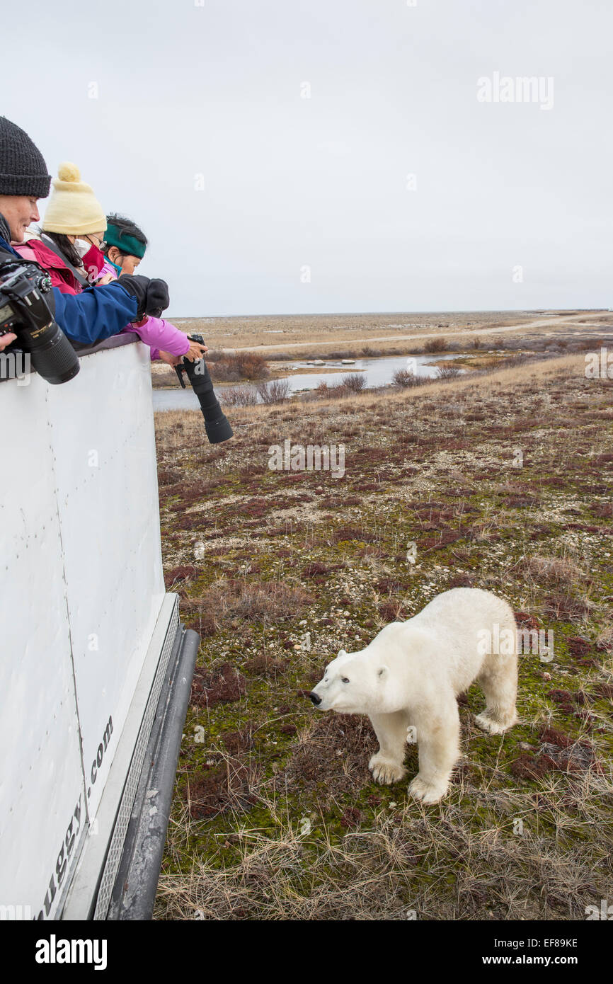 Canada, Manitoba, Churchill, Tourists lean over end of Tundra Buggy to photograph approaching Polar Bear (Ursus - Stock Image