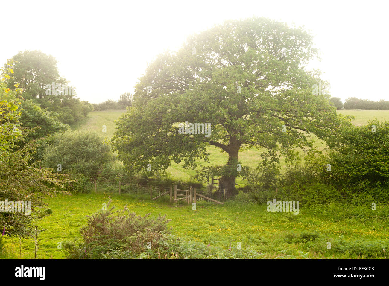 Ancient Oak tree at the entrance to Ty Canol Ancient Woodlands, Pembrokeshire, Wales - Stock Image