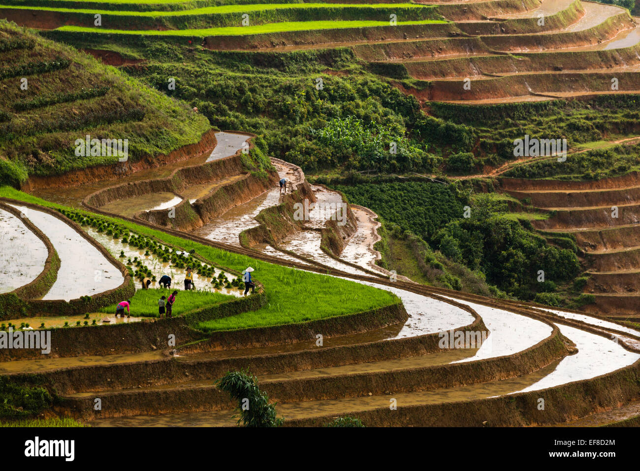 Farmers planting rice on terraces during rainy season near Sa Pa to Lao Cai Road, northern Vietnam - Stock Image