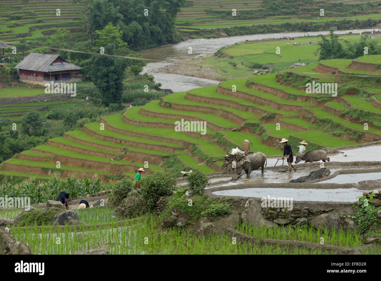 Farmers planting rice in terraces with water buffalo plow. Near Hau Thao village, Sa Pa Lao, Lao Cai Vietnam - Stock Image