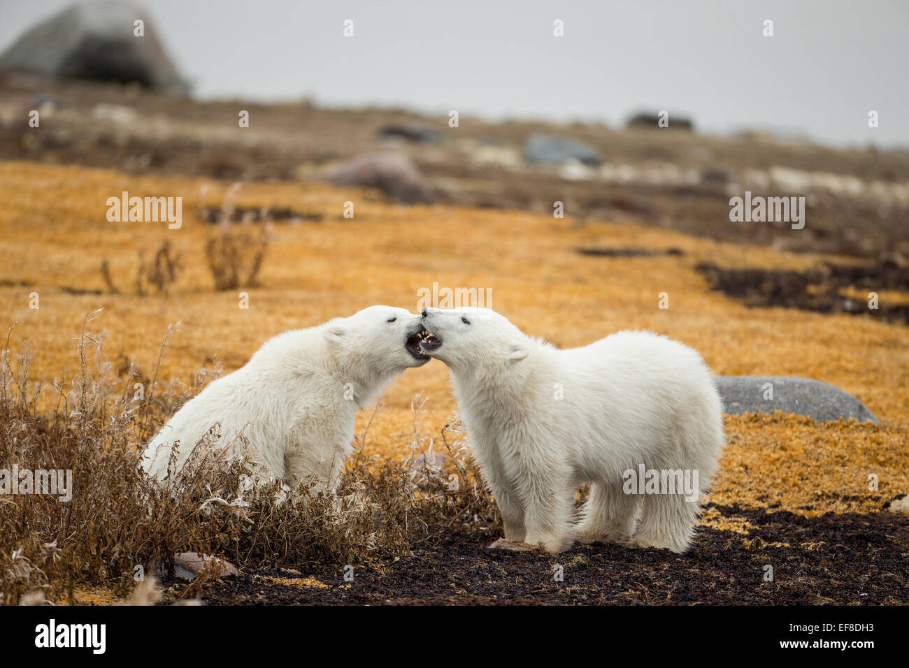 Canada, Manitoba, Churchill, Polar Bear Cubs (Ursus maritimus) snarling at each other while sitting along shoreline - Stock Image