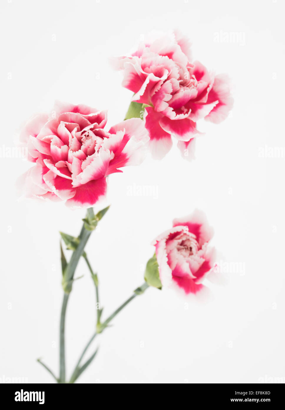 Pink and white carnation. Dianthus caryophyllus, carnation or clove pink - Stock Image