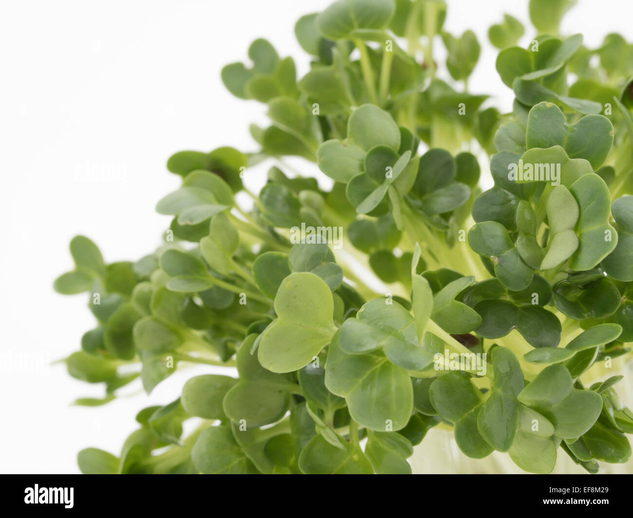 Cress / garden cress. edible herb used in salads - Stock Image