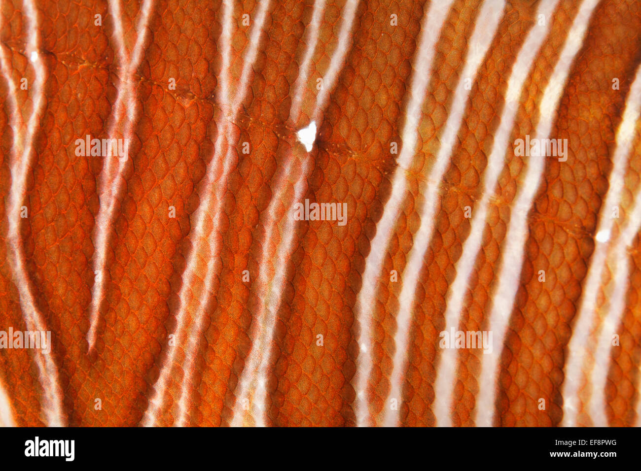 Red Lionfish (Pterois volitans), detail view of scales and the lateral line, Jordan - Stock Image