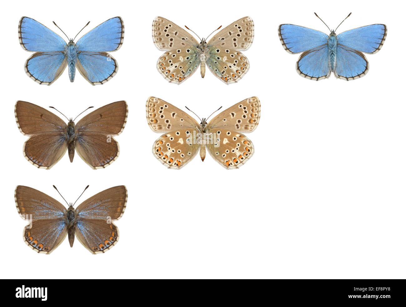 Adonis Blue - Polyommatus bellargus - male (top row) - female (middle and bottom row). - Stock Image
