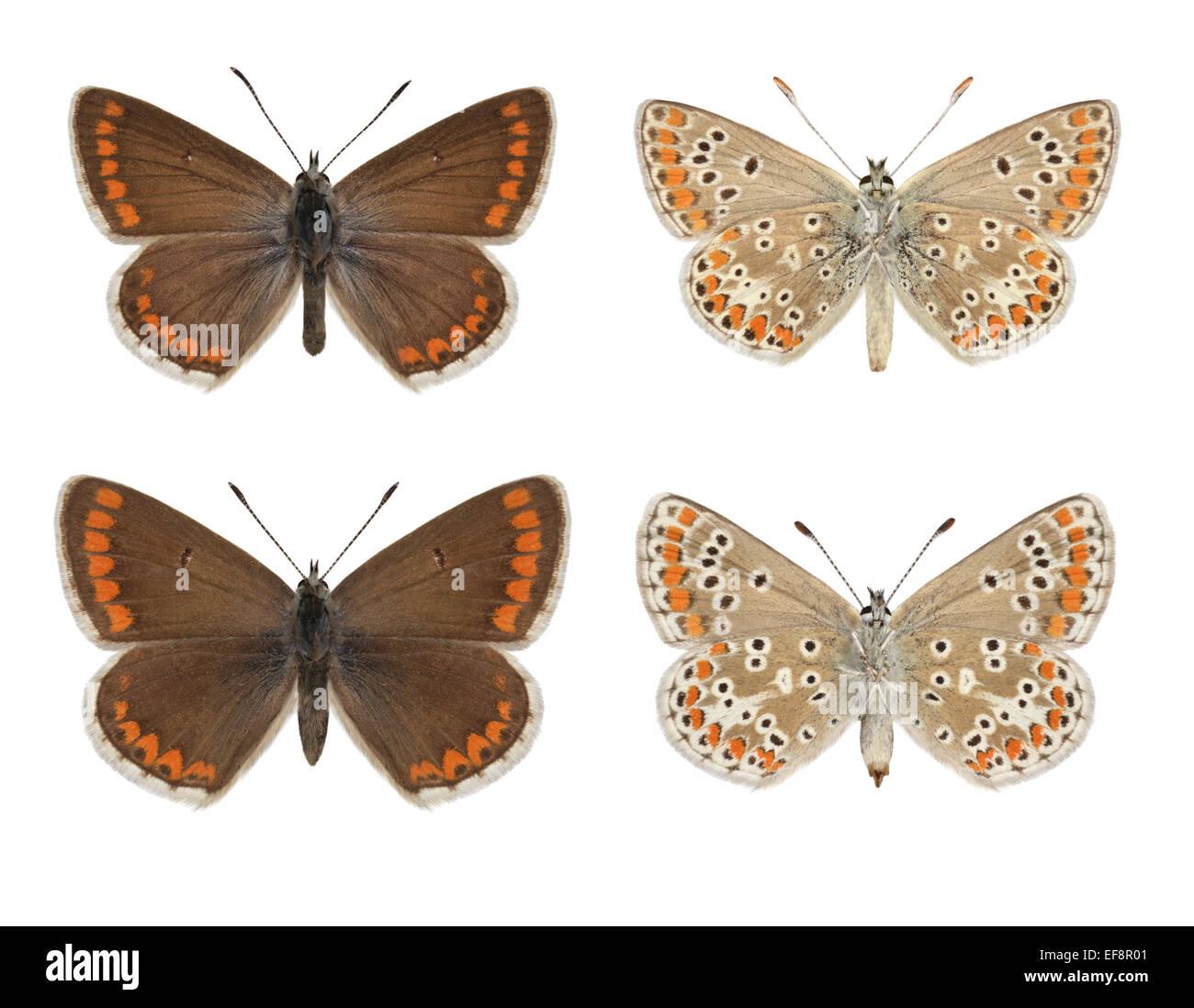 Brown Argus - Aricia agestis - male (top row) - female (bottom row). - Stock Image