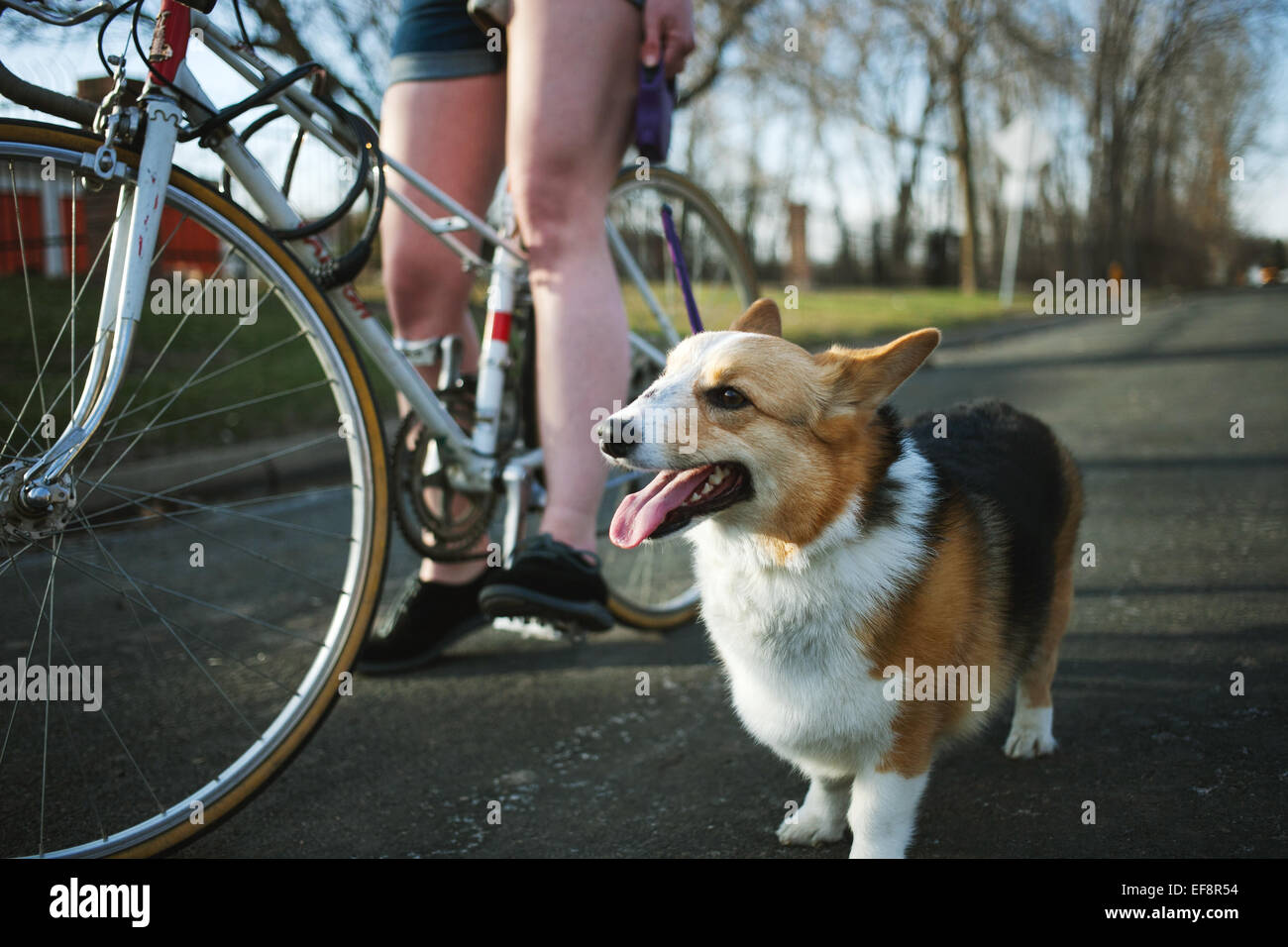 Pembroke Welsh Corgi standing by side of young woman on bicycle - Stock Image