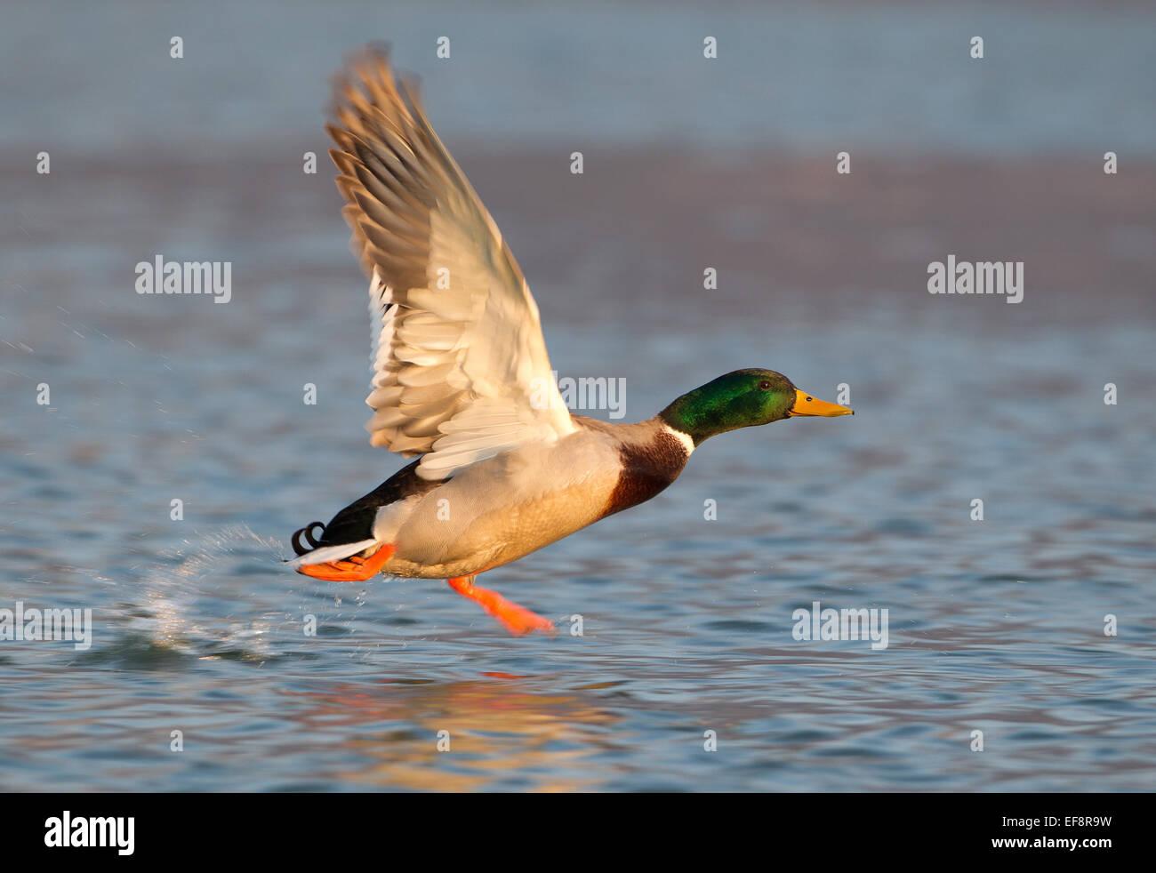 Mallard duck flying - Stock Image