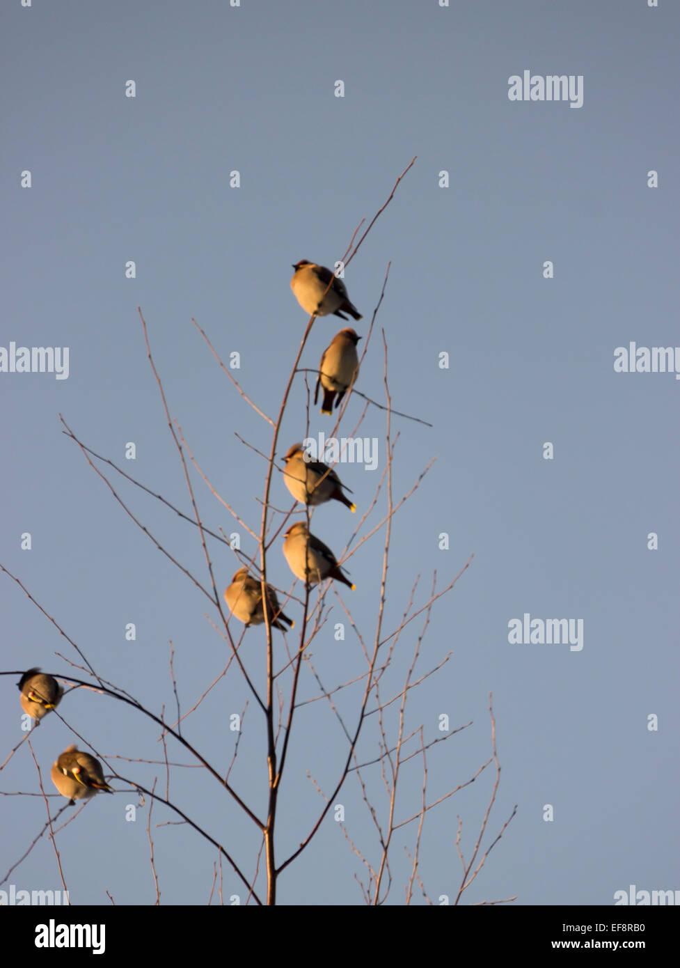 Birds in Birch Tree Stock Photo