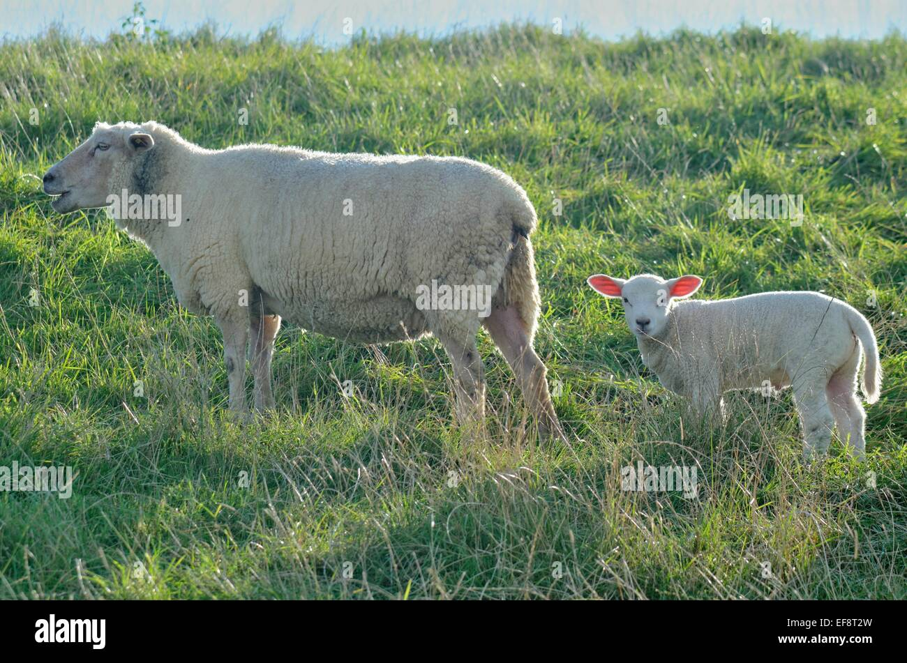 Germany, Oldersum, Ewe with lamb grazing - Stock Image