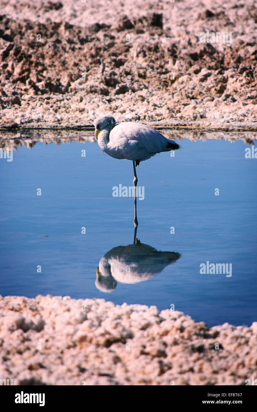 Flamingo standing on one leg in lake, Atacama desert, Chile - Stock Image