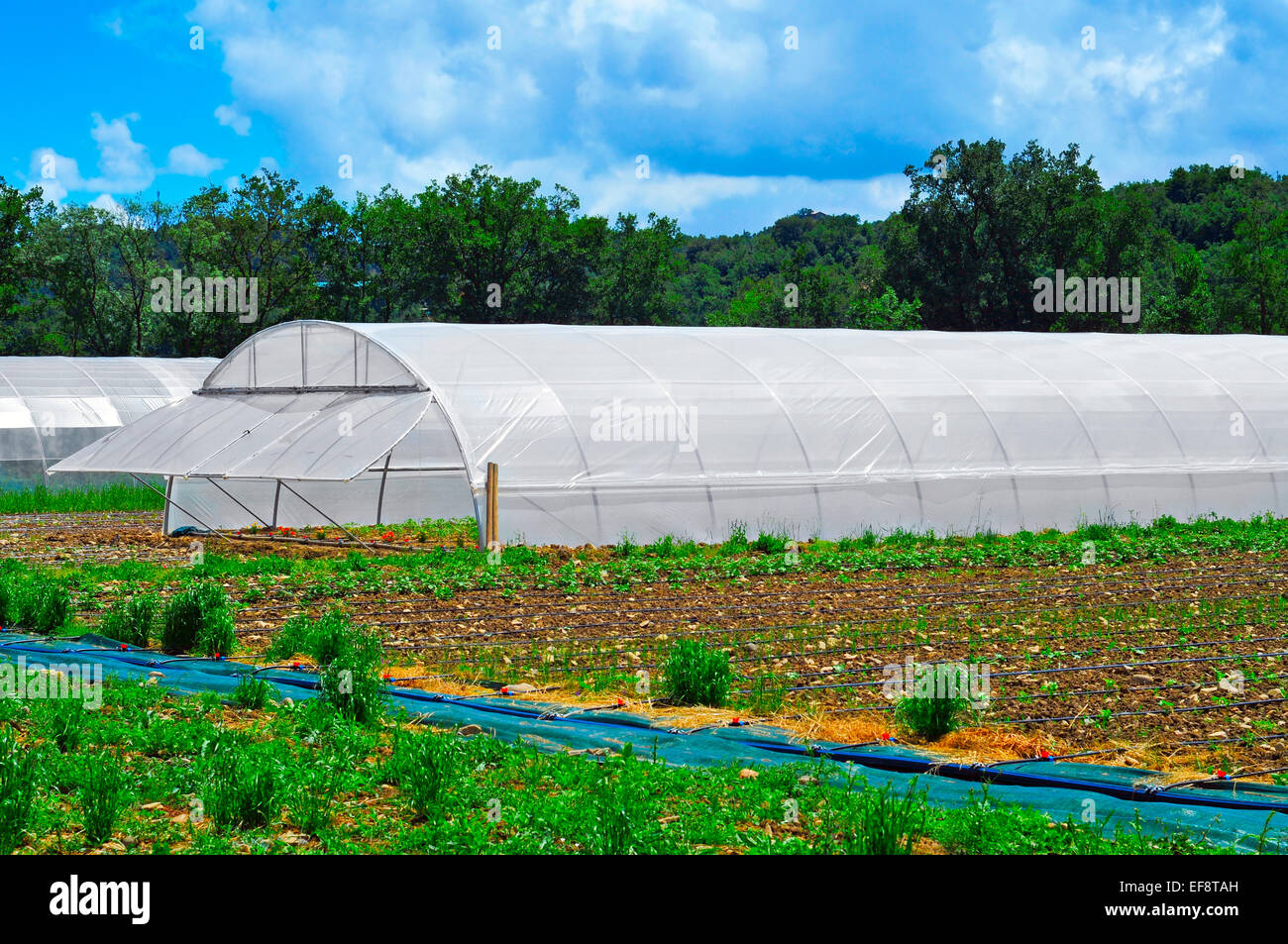some high tunnels with different cultivars in a farm - Stock Image