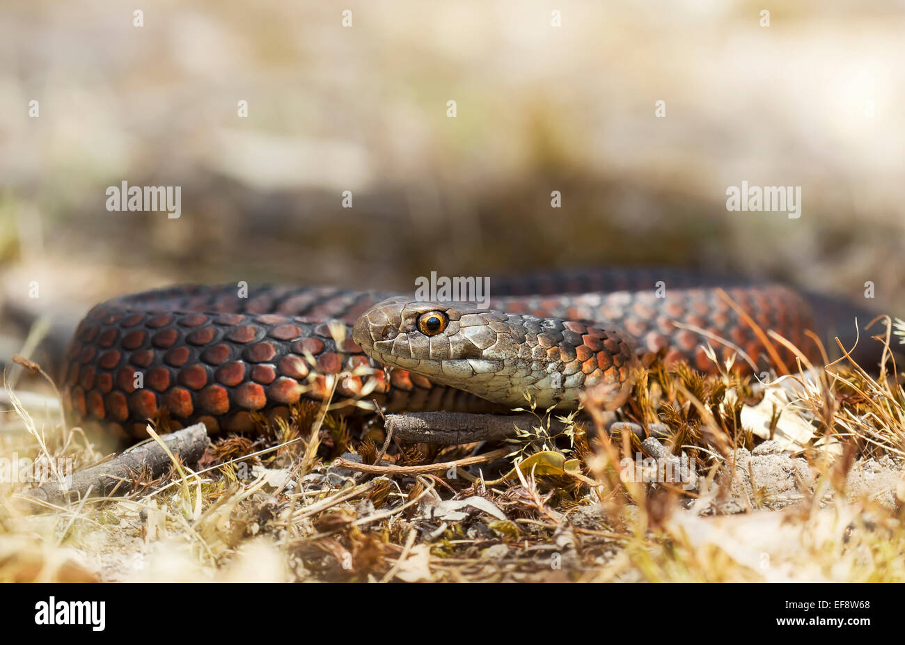 Australia, Lowland copperhead crawling in withered grass - Stock Image