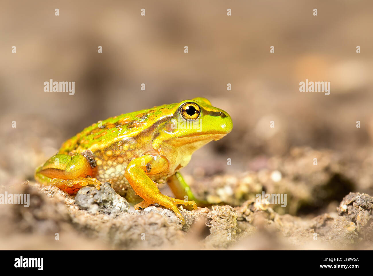 Australia, Victoria, Growling grass frog sitting on dirt - Stock Image