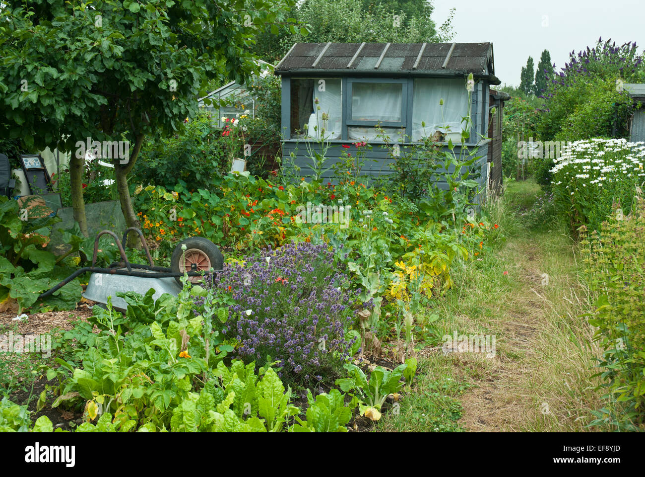 Attractive allotment in summer with shed, vegetables, fruit trees and flowers; chard, marigolds, nasturtiums, michaelmas - Stock Image