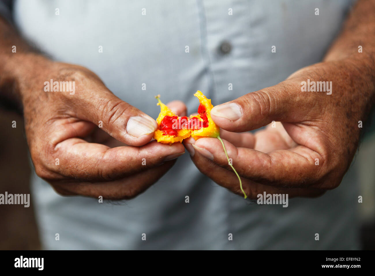 Man's hands holding the fruit of a Bitter Melon (Momordica charantia), Ometepe, Rivas Province, Nicaragua - Stock Image