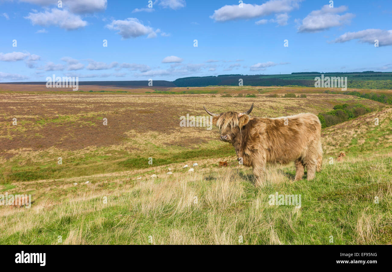Scottish Highland cattle graze on open pasture which is part of the North York Moors national parkland. - Stock Image