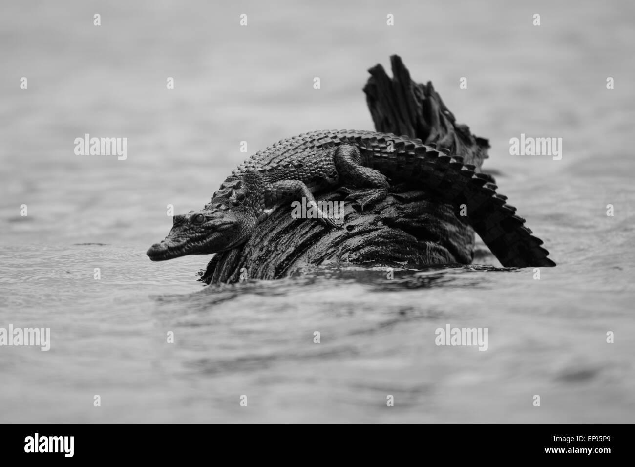 Baby crocodile on log Stock Photo