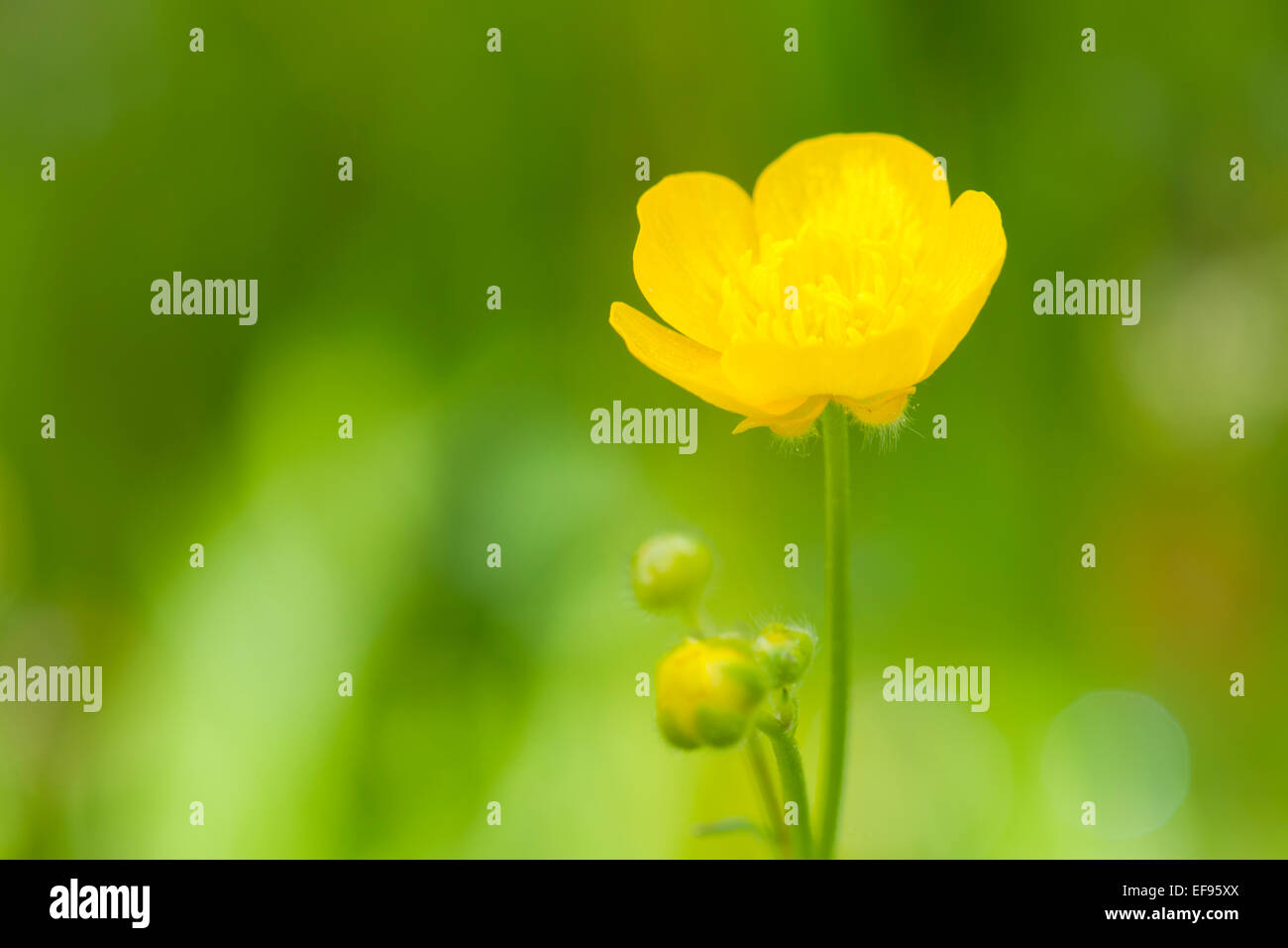 Meadow Buttercup (Ranunculus acris) flower close up, with shallow depth of field, French alps. Stock Photo
