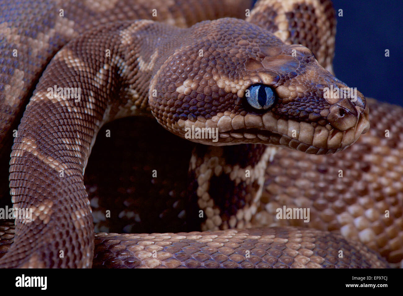 Rough-scaled python / Morelia carinata - Stock Image