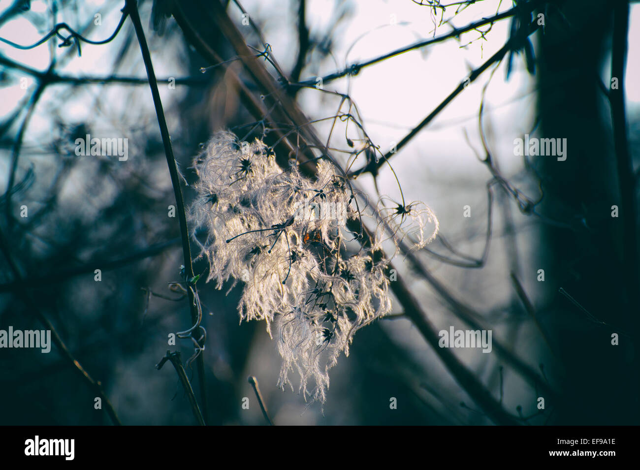 Old Man's Beard Clematis vitalba backlit by the morning sun - Stock Image
