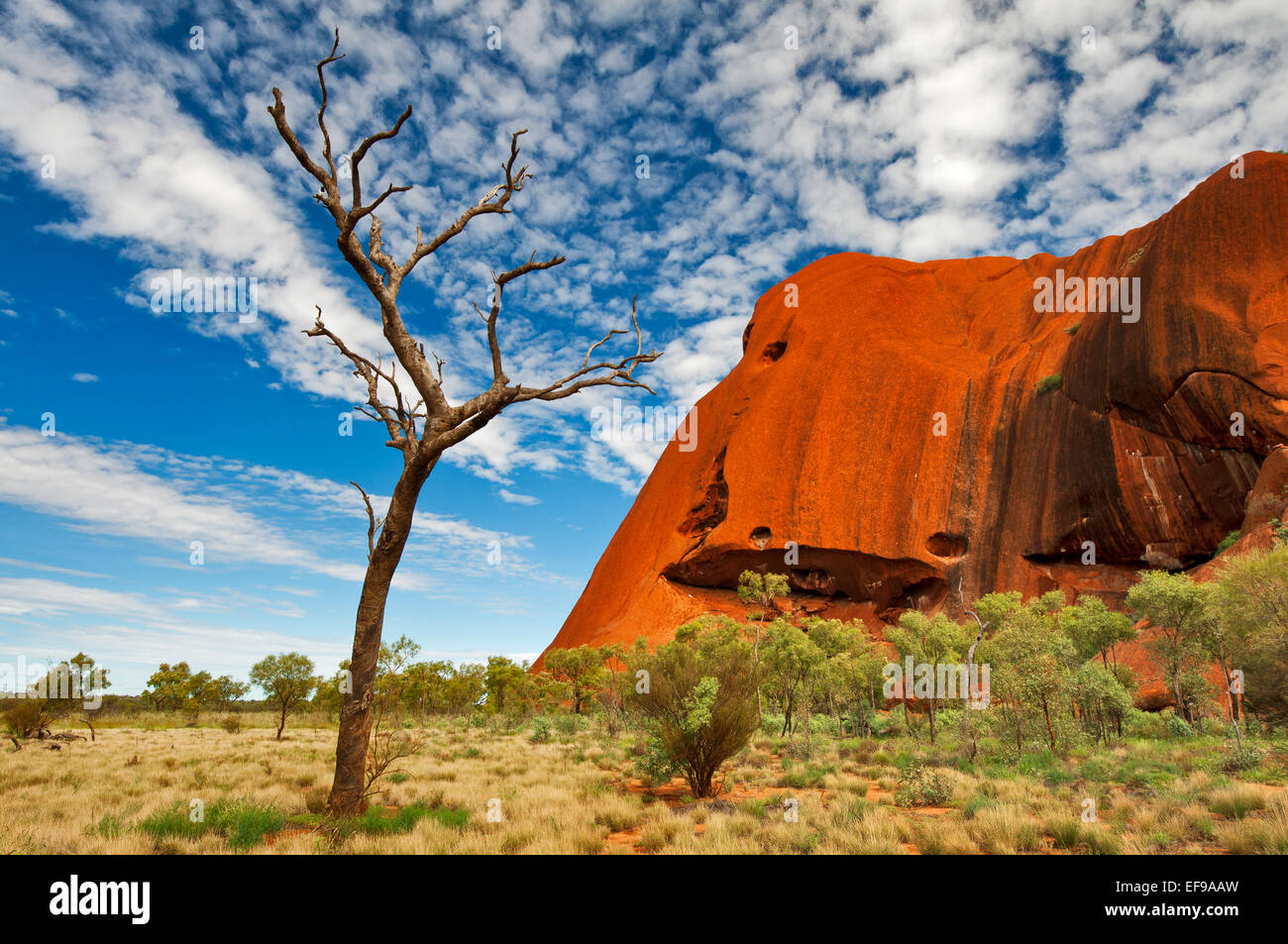Dead tree at the southern part of Uluru. Stock Photo